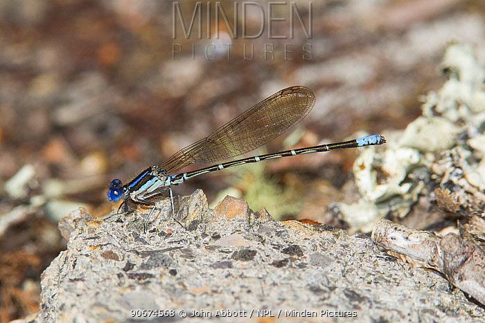 Blueringed Dancer (Argia sedula) male, Conway, Punch Bowl Horry County, South Carolina, USA  -  John Abbott/ NPL