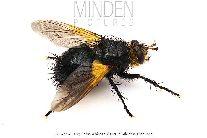 Parasitic Fly (Tachina sp) on white background, Missoula County, Montana, USA  -  John Abbott/ NPL