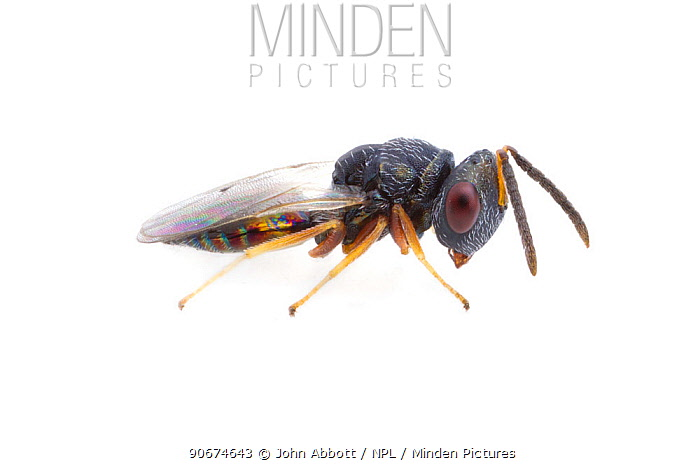 Wasp (Pteromalus puparum), parasitoid wasp of butterfly pupae including Monarch butterflies (Danaus plexippus) Brackenridge Field Laboratory, Austin, Travis Co, Texas, USA, December  -  John Abbott/ NPL