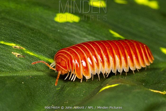 Sphaeriodesmid Pill Millipede (Sphaeriodesmidae) Cayo District, Belize  -  John Abbott/ NPL