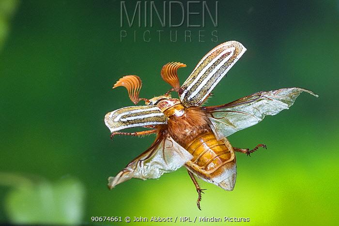 Tenlined June Beetle (Polyphylla decemlineata) in flight, Kernville, Kern County, California, USA, June  -  John Abbott/ NPL