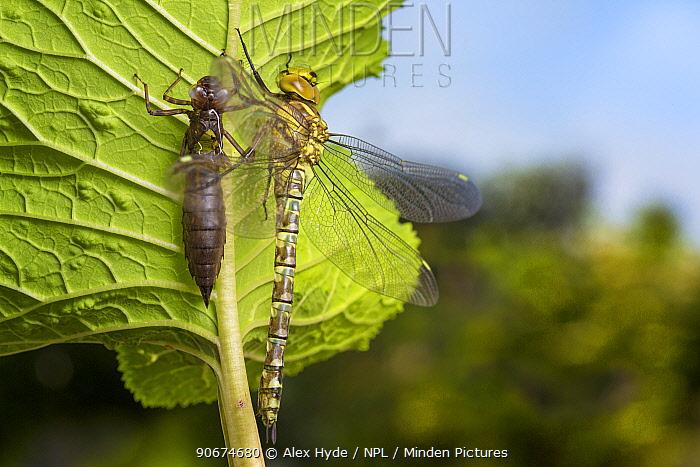 Recently emerged Southern Hawker dragonfly (Aeshna cyanea) next to empty larval exoskeleton Derbyshire, UK June  -  Alex Hyde/ npl