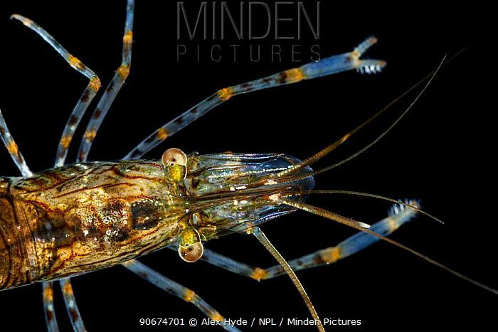 Common Prawn (Palemeon serratus) photographed in mobile field studio Isle of Mull, Scotland, UK June  -  Alex Hyde/ npl