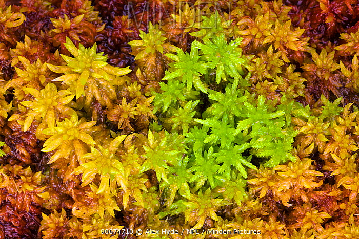 Sphagnum Moss (Sphagnum sp) growing on boggy moorland Peak District National Park, Derbyshire, UK August  -  Alex Hyde/ npl