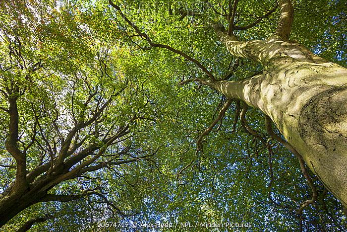 Looking up through a Beech wood canopy (Fagus sylvatica) in summer, Peak District National Park, Derbyshire, UK August  -  Alex Hyde/ npl