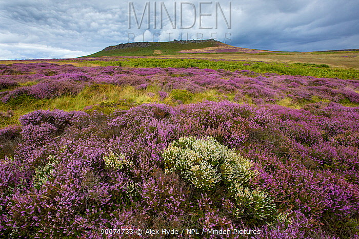 Ling Heather (Calluna vulgaris), showing rare white form Peak District National Park, Derbyshire, UK August  -  Alex Hyde/ npl