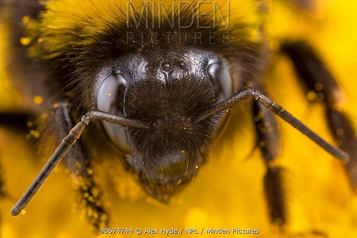 Buff-tailed Bumblebee (Bombus terrestris) close up of worker feeding on Ox-eye Daisy (Leucanthemum vulgare) Peak District National Park, Derbyshire, UK July  -  Alex Hyde/ npl