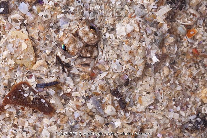Close up of head of European Plaice (Pleuronectes platessa) camouflaged in sandTaken in mobile field studio Isle of Mull, Scotland, UK June  -  Alex Hyde/ npl