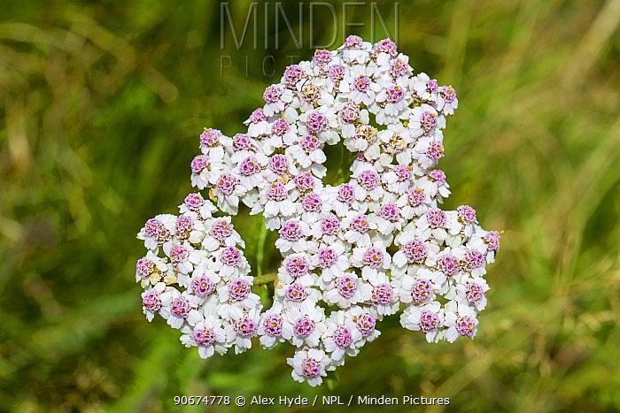 Yarrow (Achillea millefolium), Peak District National Park, Derbyshire, UK August  -  Alex Hyde/ npl
