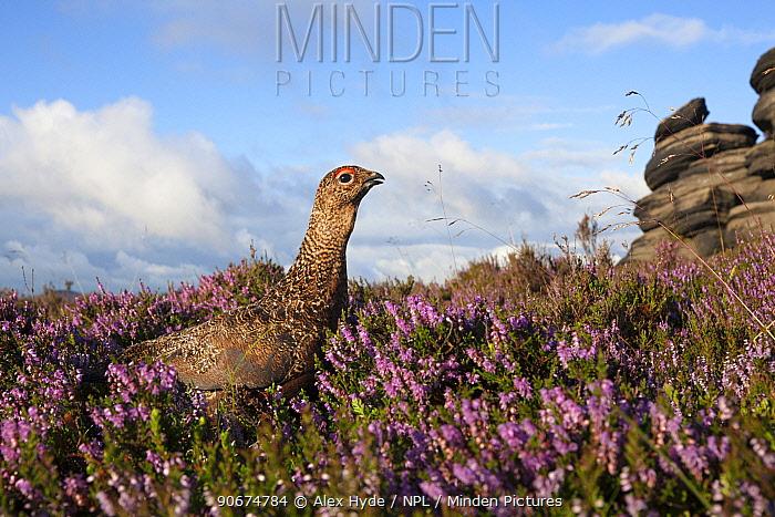 Red grouse (Lagopus lagopus scoticus) on heather moorland, Derwent Edge, Peak District National Park, Derbyshire, UK, August  -  Alex Hyde/ npl