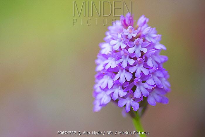 Pyramidal Orchid (Anacamptis pyramidalis) Peak District National Park, Derbyshire, UK July  -  Alex Hyde/ npl
