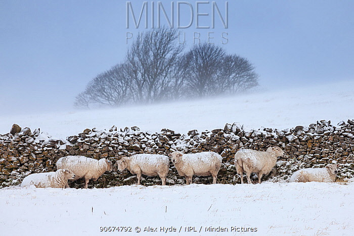 Sheep sheltering from harsh weather behind a stone wall, Peak District National Park, Derbyshire, UK March  -  Alex Hyde/ npl
