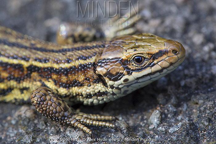 Common Lizard (Lacerta vivipara) close up of head, basking on rock Peak District National Park, Derbyshire, UK August  -  Alex Hyde/ npl