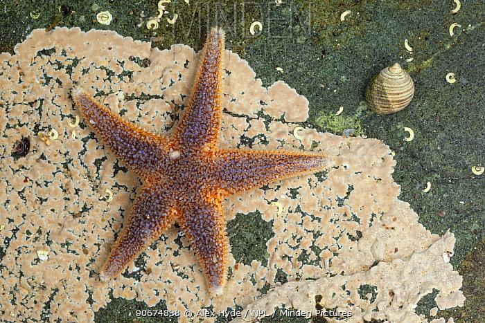 Common starfish (Asterias rubens), Isle of Mull, Scotland, UK June  -  Alex Hyde/ npl