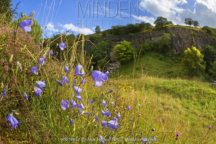 Harebells (Campanula rotundifolia) growing in disused limestone quarry Peak District National Park, Derbyshire, UK August  -  Alex Hyde/ npl
