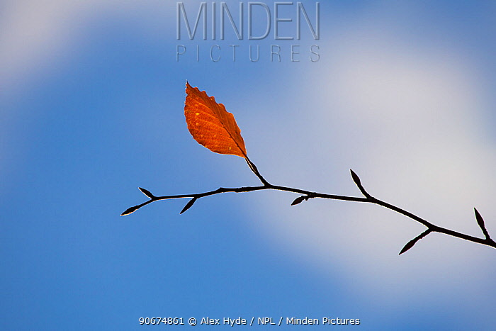 Beech Tree leaf (Fagus sylvatica) in autumn Derbyshire, UK  -  Alex Hyde/ npl