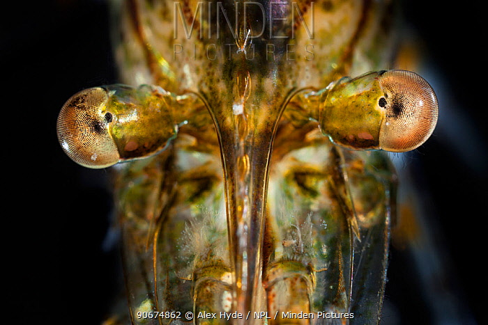 Common Prawn (Palaemon serratus) close up showing reflecting superposition compound eyes, taken in mobile field studio, Isle of Mull, Scotland, UK June  -  Alex Hyde/ npl