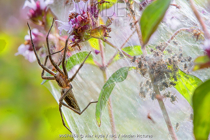 Nursery Web Spider (Pisaura mirabilis) mother on nursery web with newly emerged spiderlings Peak District National Park, Derbyshire UK July  -  Alex Hyde/ npl
