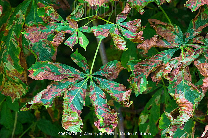 Horse Chestnut leaves (Aesculus hippocastanum) infected with Leaf Miner Moth (Cameraria ohridella) Peak District National Park, Derbyshire, UK July This is an invasive species  -  Alex Hyde/ npl