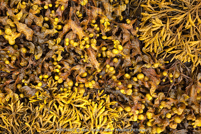 Bladder Wrack (Fucus vesiculosus) and Channelled Wrack (Pelvetia canaliculata) exposed at low tide in middle-shore zone Isle of Mull, Scotland, UK June  -  Alex Hyde/ npl