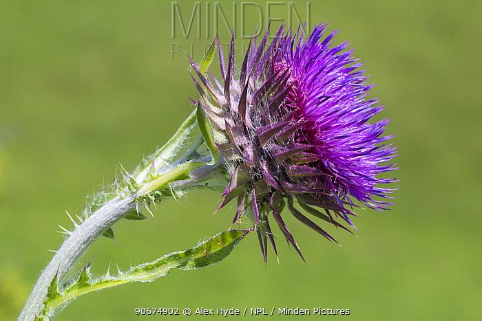 Musk Thistle (Carduus nutans) Devon, UK June  -  Alex Hyde/ npl