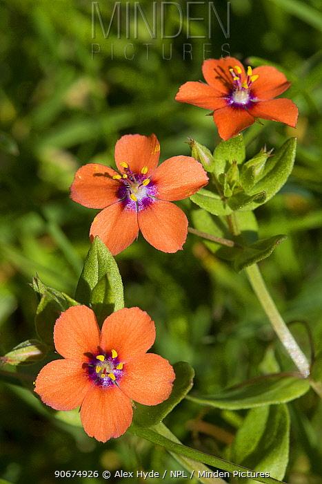 Scarlet Pimpernel (Anagallis arvensis) Devon, UK June  -  Alex Hyde/ npl