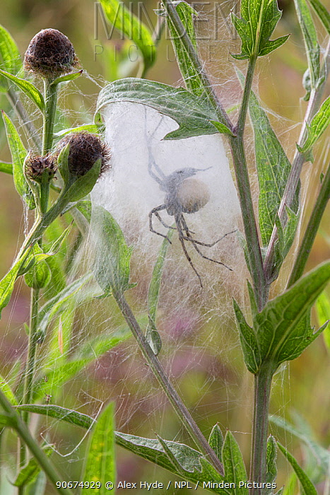Nursery Web Spider (Pisaura mirabilis) mother in nursery web in meadow, with the spherical egg mass that she is guarding visible Peak District National Park, Derbyshire UK August  -  Alex Hyde/ npl
