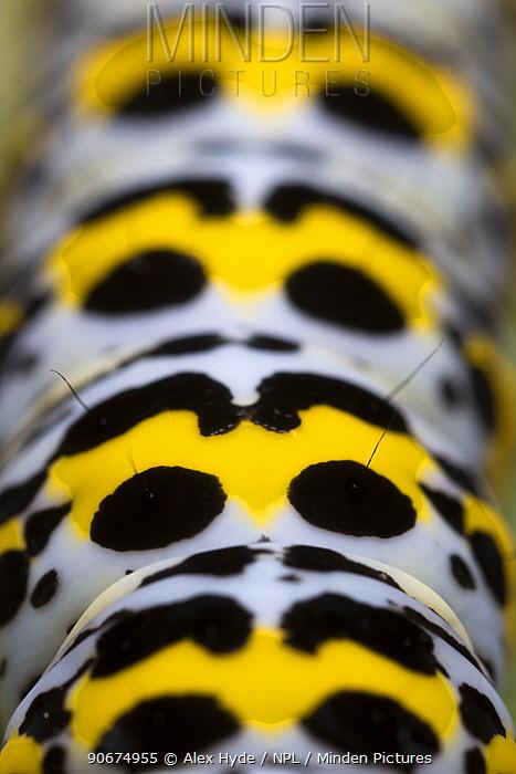 Mullein moth (Shargacucullia verbasci) caterpillar close up of patterns Devon, UK June  -  Alex Hyde/ npl