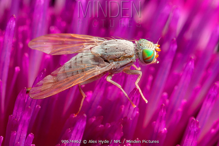 Thistle Gall Fly (Terellia serratulae) feeding on a thistle Nordtirol, Tirol, Austrian Alps, Austria August  -  Alex Hyde/ npl