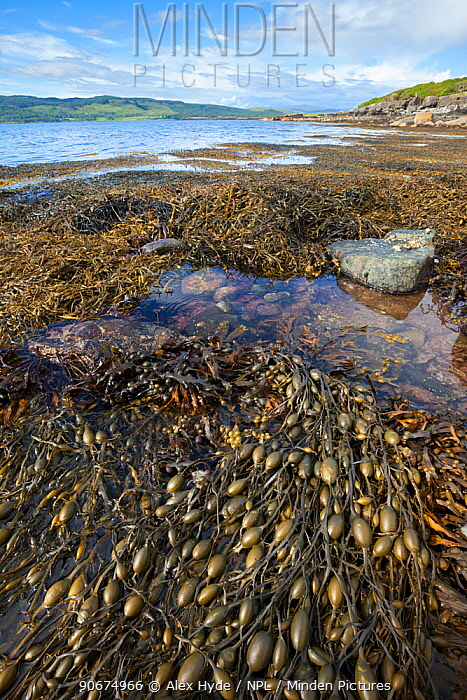 Knotted, Egg Wrack seaweed (Ascophyllum nodosum) growing in middle shore zone, exposed at low tide Isle of Mull, Scotland, UK June  -  Alex Hyde/ npl