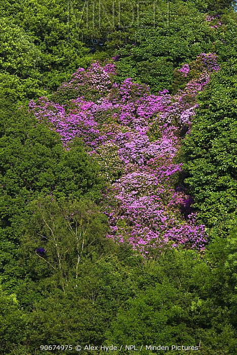 Rhododendron (Rhododendron ponticum) in flower Peak District National Park, Derbyshire, UK June Invasive species  -  Alex Hyde/ npl