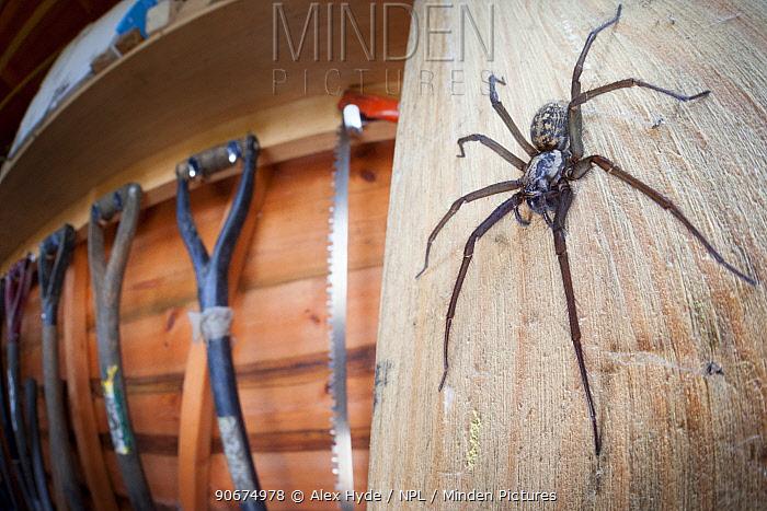 House Spider female (Tegenaria sp) in garden shed Derbyshire, UK, March  -  Alex Hyde/ npl