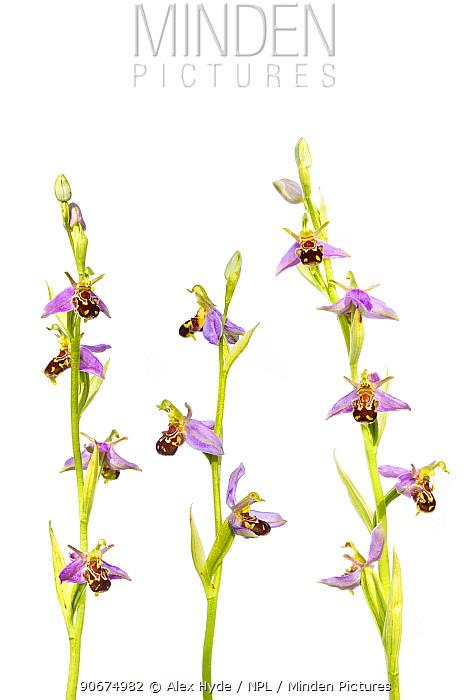 Bee Orchids (Ophyris apifera) against a white background Peak District National Park, Derbyshire, UK June Digital composite  -  Alex Hyde/ npl