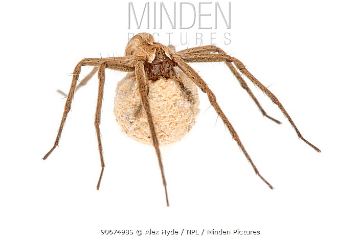Nursery Web Spider (Pisaura mirabilis) female carrying egg sac, against a white background Peak District National Park, Derbyshire, UK June  -  Alex Hyde/ npl