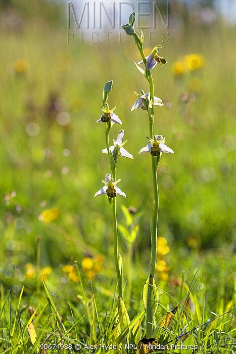 Bee Orchids (Ophyris apifera) Peak District National Park, Derbyshire, UK June  -  Alex Hyde/ npl