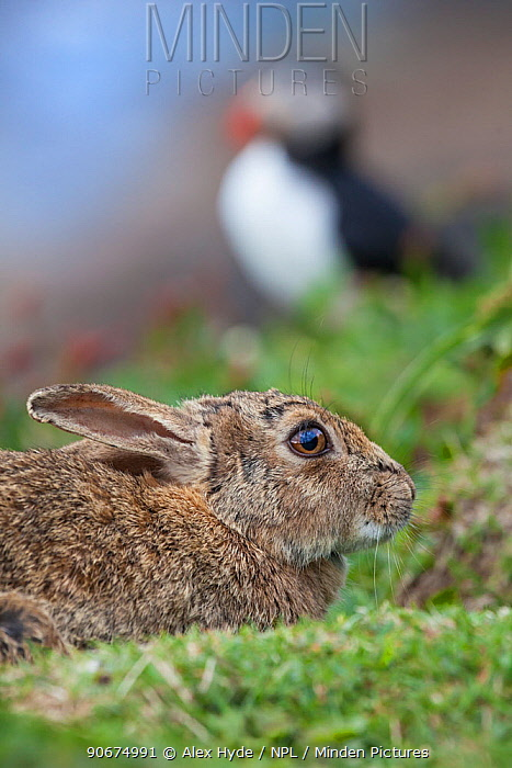 European Wild Rabbit (Oryctolagus cuniculus) with an Atlantic puffin (Fratercula arctica) in the background Puffins will often use old rabbit burrows as a nesting site Isle of Lunga, Treshnish Isles, Scotland, June  -  Alex Hyde/ npl