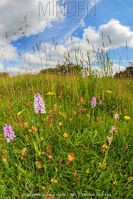 Common Spotted Orchids (Dactylorhiza fuchsii) and Bee Orchid (Ophyris apifera) in lowland calcareous grassland habitat Peak District National Park, Derbyshire, UK June Taken with fisheye lens  -  Alex Hyde/ npl