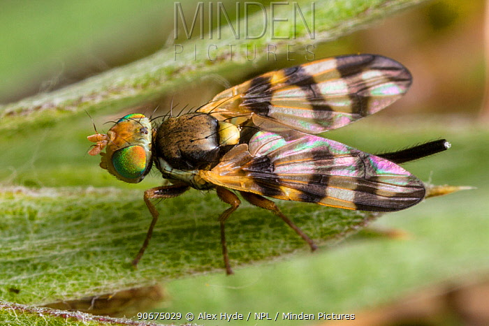 Picture Wing Fly (Urophora sp) Peak District National Park, Derbyshire, UK June  -  Alex Hyde/ npl