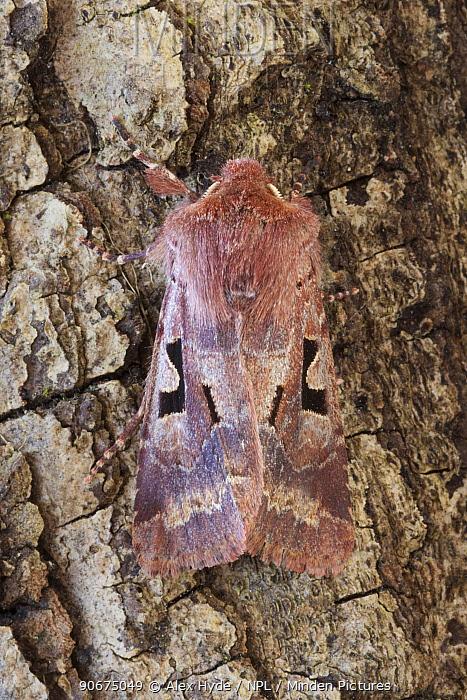 Hebrew Character (Orthosia gothica) moth Peak District National Park, Derbyshire, UK April  -  Alex Hyde/ npl