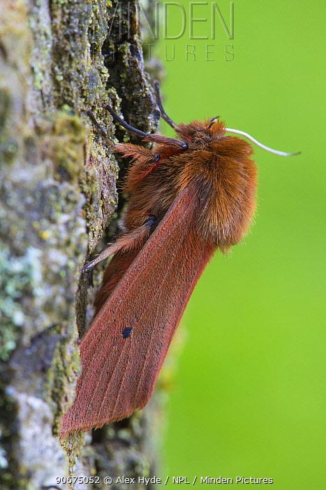 Ruby Tiger moth (Phragmatobia fuliginosa) Oxfordshire, UK July  -  Alex Hyde/ npl