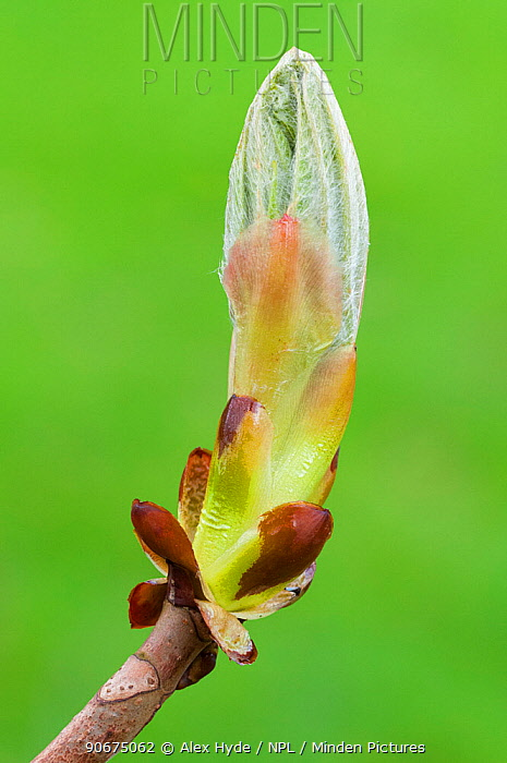 Horse Chestnut (Aesculus hippocastanum) bud Peak District National Park, Derbyshire, UK April  -  Alex Hyde/ npl