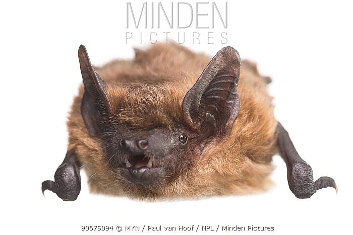Serotine bat (Eptesicus serotinus) female, The Netherlands, May Meetyourneighboursnet project  -  MYN/ Paul van Hoof/ npl