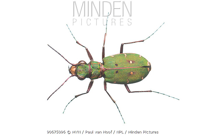 Green tiger beetle (Cicindela campestris) The Netherlands, May Meetyourneighboursnet project  -  MYN/ Paul van Hoof/ npl