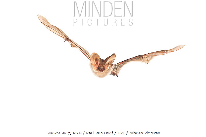 Grey long-eared bat (Plecotus austriacus) in flight, France, April, Meetyourneighboursnet project  -  MYN/ Paul van Hoof/ npl