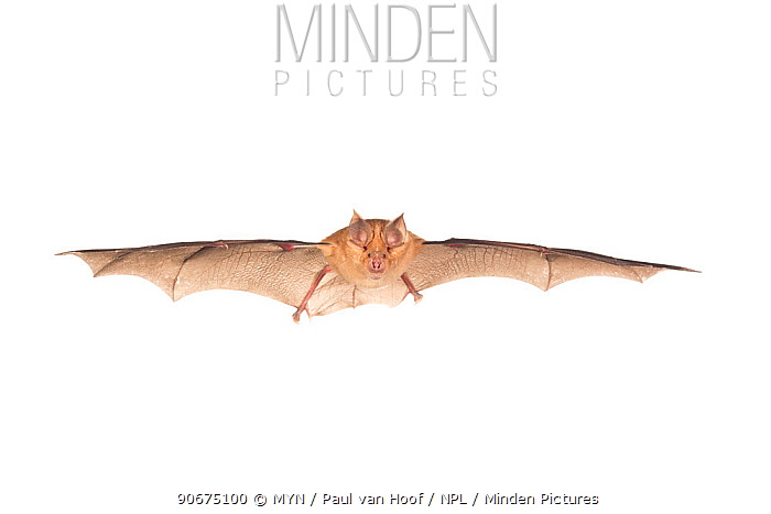 Greater horseshoe bat (Rhinolophus ferrumequinum) in flight, France, April, Meetyourneighboursnet project  -  MYN/ Paul van Hoof/ npl