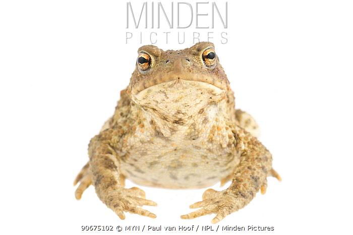 Common toad (Bufo bufo) The Netherlands, August Meetyourneighboursnet project  -  MYN/ Paul van Hoof/ npl