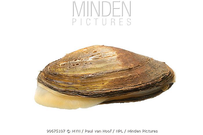 Duck mussel (Anodonta anatina) The Netherlands, October Meetyourneighboursnet project  -  MYN/ Paul van Hoof/ npl