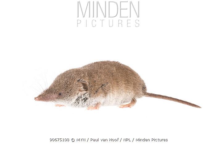 Greater white-toothed shrew (Crocidura russula) The Netherlands, October Meetyourneighboursnet project  -  MYN/ Paul van Hoof/ npl