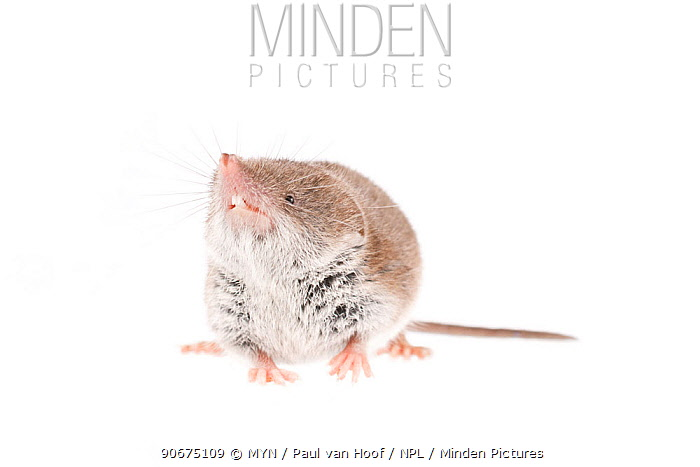 Greater white-toothed shrew (Crocidura russula) The Netherlands, October, Meetyourneighboursnet project  -  MYN/ Paul van Hoof/ npl