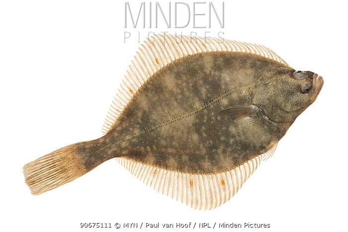 European Flounder (Platichthys flesus) The Netherlands, March, Meetyourneighboursnet project  -  MYN/ Paul van Hoof/ npl